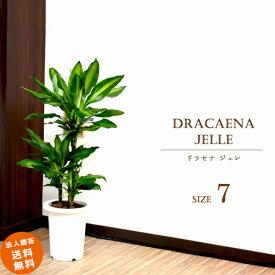 ドラセナ ジェレ 7号 (鉢カバーなし)観葉植物 中型 おしゃれ インテリア ギフト 祝い 開店 誕生日 新築 プレゼント ラッピング