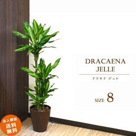 ドラセナ ジェレ 8号 (鉢カバーなし)観葉植物 中型 おしゃれ インテリア ギフト 祝い 開店 誕生日 新築 プレゼント ラッピング