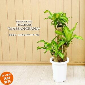 ドラセナ マッサン 7号 (鉢カバーなし)観葉植物 中型 おしゃれ インテリア ギフト 祝い 開店 誕生日 新築 プレゼント ラッピング