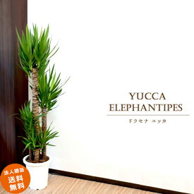 【法人贈答 送料無料】 観葉植物 大型 大型10号 青年の木 ドラセナ ユッカ(鉢カバーなし)