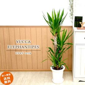 ドラセナ ユッカ 8号 (鉢カバーなし)観葉植物 中型 おしゃれ インテリア ギフト 祝い 開店 誕生日 新築 プレゼント ラッピング