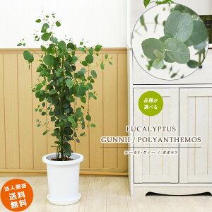 ユーカリ・グニー / ユーカリ・ポポラス 8号 (鉢カバーなし)観葉植物 中型 おしゃれ インテリア ギフト 祝い 開店 誕生日 新築 プレゼント ラッピング