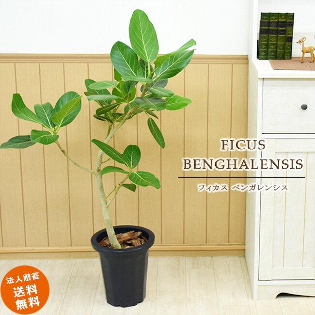 【送料無料】葉脈が美しいゴムの木 フィカス ベンガレンシス 中型8号(鉢カバーなし)