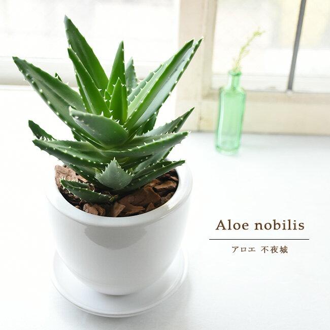 アロエ 不夜城 鉢植え 丸い白陶器鉢入り 卓上サイズ