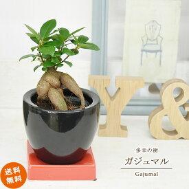 観葉植物 インテリア おしゃれ 多幸の樹 ガジュマル ミニサイズ 黒陶器鉢入り 【送料無料】