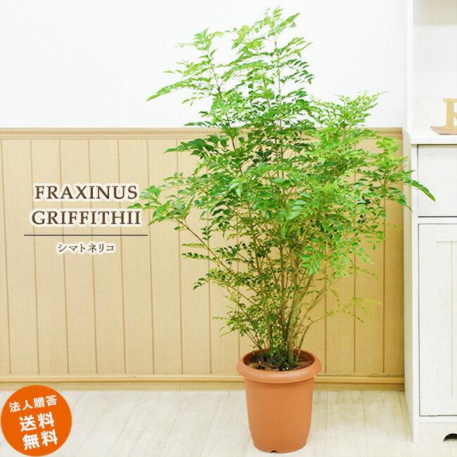 シマトネリコ 中型8号 (鉢カバーなし) 送料無料 観葉植物