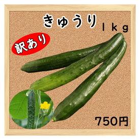 【三浦野菜】 【訳あり】 きゅうり 1kg 【送料半額】 【東日本】 【夏野菜】