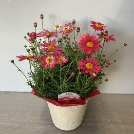 マーガレット ストロベリーホイップ 4号【送料無料】ギフト 花鉢 春/お祝い/お誕生日/各種ギフト
