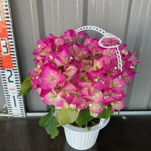 鉢植え ブーゲンビリア(ピンクレディー)4.5号 【送料無料】出荷時花咲き終わり。夏に花が咲きます。