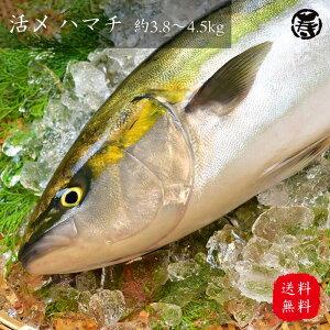 【 送料無料 冷蔵 】 活〆 ハマチ 3.8kg-4.5kg 1尾 養殖 鮮魚 活魚 魚 お歳暮 お中元 プレゼント お祝い 刺身 お刺身 はまち 造り ぶり ぶりかま