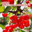 【訳あり】山形県産さくらんぼ 品種おまかせ(紅秀峰ほか)1kg