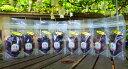 セミドライぶどう(半生干しぶどう)5袋セット【シャインマスカット、巨峰、ロザリオロッソ、ナガノパープル、伊豆錦…