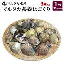 【送料無料】蓄養はまぐり 3年もの4cm〜5cmサイズ蛤(ハマグリ)1kg(30粒前後)入♯貝 はまぐり ハマグリ 蛤 バーベキ…