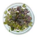 村上農園マイクロハーブ『レッドマスタード』/ Micro Herbs Red Mustard, 1pc