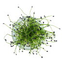 村上農園マイクロハーブ『ロックチャイブ』/ Micro Herbs Rock Chives, 1pc