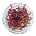 村上農園マイクロハーブ『アマランサス』/ Micro Herbs Amaranthus, 1pc
