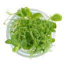 村上農園マイクロハーブ『クレイジーピー』/ Micro Herbs Crazy Pea, 1pc