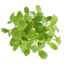 村上農園マイクロハーブ『ボリジ』/ Micro Herbs Borage, 1pc