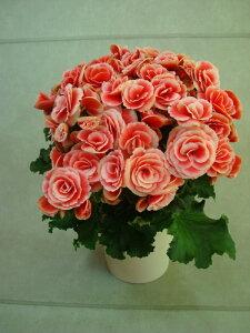 【母の日フラワーギフト】【送料無料】リーガス ベゴニア 鉢植え「ボリアス」 5号 カゴ入 母の日 プレゼント ギフト 贈り物 鉢花 ガーデニング 誕生日 お礼