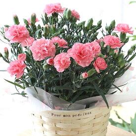 【早割10%OFF】【母の日フラワーギフト】【送料無料】カーネーション 鉢植え ピンク 5号 カゴ付 母の日 プレゼント ギフト 贈り物 鉢花 ガーデニング 誕生日 お礼