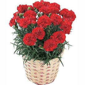 【早割10%OFF】【母の日フラワーギフト】【送料無料】カーネーション 鉢植え 赤系 5号 カゴ付 母の日 プレゼント ギフト 贈り物 鉢花 ガーデニング 誕生日 お礼