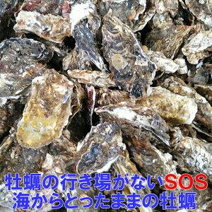 【SOS】改良版 海からとったままの牡蠣★20kgクール便 宮城県産 殻付き 牡蠣 殻付き 牡蠣 殻付 カキ 加熱調理用 一年牡蠣 松島牡蠣屋