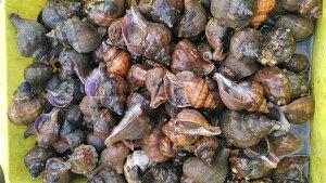 店長自ら漁獲!宮城県産 ヒメエゾボラ 2kg送料無料 青ツブ貝 漁師直送品 生出荷 お刺身 甘煮 焼いたりと美味です。唾液腺を除去可能な方のみに販売です。