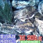約100g以上のみ20kg(約170粒)冷凍便送料無料!宮城県産殻付き牡蠣殻付き殻付カキ加熱用一年子松島牡蠣屋無選別牡蠣
