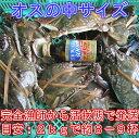 宮城県産 ワタリガニ オス中サイズ 渡り蟹 ガザミ 梭子蟹 ケジャンにも!活発送 2kg(約8-9杯)〜