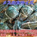 宮城県産 ワタリガニ メス大と特大混み(1kgで約2-3杯) 渡り蟹 ガザミ 梭子蟹 ケジャンにも! 活発送 1kg〜