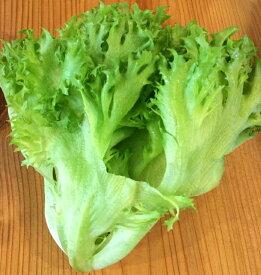 フリルレタス 三重県伊賀産【野菜セット同梱で送料無料】