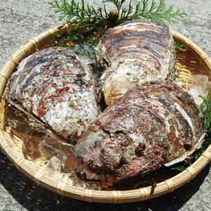 天然岩牡蠣(生) 大 3個 【山陰沖産】 (かき、カキ、イワガキ、いわがき、イワカキ、いわかき、岩がき、岩ガキ)