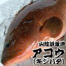 朝とれ!新鮮!山陰浜坂港の超高級魚!「アコウ(キジハタ)」