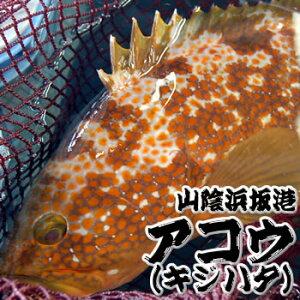 超高級魚 活・アコウ(生) 1尾 約800-890g前後 【浜坂産】 ※活かしてますので、発送直前に〆てお届け致します。