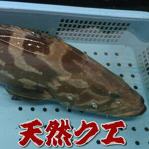 幻の高級魚 天然 活・クエ(活生) 1尾 約3.5〜4.0kg前後 【浜坂産】 ※活かしてますので、発送直前に〆てお届け致します。 (九絵、くえ、アラ、あら)