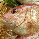 天然・真鯛(下処理済み・冷凍) 1尾 約30-32cm  【浜坂産】(たい・タイ)