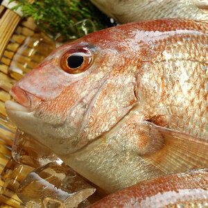 天然・真鯛(下処理済み・冷凍) 1尾 約23-25cm  【浜坂産】(たい・タイ)