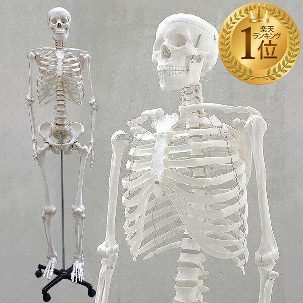 【1年保証】人体模型 約166cm 人体骨格模型 等身大の人体の骨格をリアルに表現!人体骨格模型 ヒューマンスカル 模型 人体模型 骨格標本 骨格モデル 整体 整骨院 おもちゃ 楽天 激安 セール リアル 小道具 おもちゃ[送料無料]