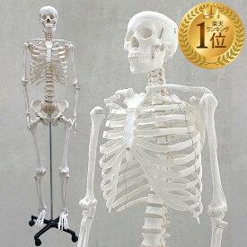 1年保証 人体模型 約166cm 人体骨格模型 等身大の人体の骨格をリアルに表現!人体骨格模型 ヒューマンスカル 模型 人体模型 骨格標本 骨格モデル 整体 整骨院 おもちゃ 楽天 リアル 小道具 おもちゃ ★[送料無料]