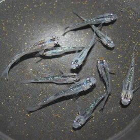 めだか 生体 夜桜メダカ(オーロラブラックラメ) M〜L(2.5〜4cm)種親サイズ 10匹 虹色ラメ