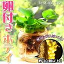 (水草) ホテイアオイ めだかの卵付き(約20個以上) 1株セット / ホテイ草 水草 浮草 たまご メダカ