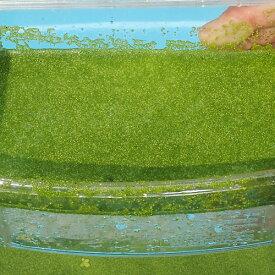 (水草) ミジンコ浮草 30g ミジンコ藻 水草 浮草 鉢 メダカ