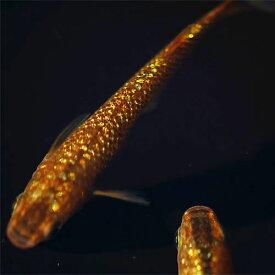 (メダカ) 琥珀ラメ(虹色)みゆき(幹之)めだか 未選別 稚魚(SS〜Sサイズ) 5匹セット 琥珀 虹色 ラメ 幹之(ミユキ) メダカ 淡水魚
