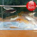 (メダカ) めだか おまかせ ヒレ長スワローめだかミックス 未選別 稚魚(SS〜Sサイズ) 10匹セット / ミックス ヒレ長 スワロー メダカ 淡水魚