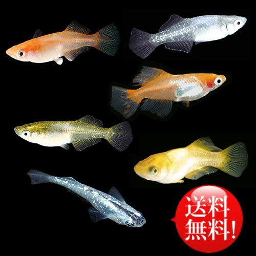 (メダカ) めだか おまかせ ヒカリ体型めだかミックス 未選別 稚魚(SS〜Sサイズ) 20匹セット / ミックス ヒカリ ホタル メダカ 淡水魚