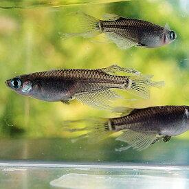 (メダカ) ブラックヒレ長スワローめだか 未選別 稚魚(SS〜Sサイズ) 5匹セット / 黒 ひれ長 スワロー メダカ 淡水魚
