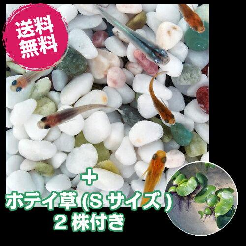 (メダカ) 紀州色彩セット 20匹セット + ホテイ草(Sサイズ) 2株付き / ミックス ホテイアオイ 水草 メダカ 淡水魚
