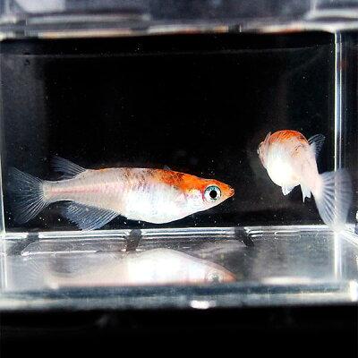 メダカ紀州三色(非透明鱗)めだかBランク個体2匹セット赤三色錦非透明鱗稚魚子供メダカ淡水魚
