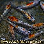 三色ラメみゆき(幹之)めだか未選別稚魚SS〜Sサイズ10匹セット/三色ラメみゆき(幹之)