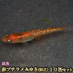 赤ブチラメみゆき(幹之)めだか虹色ラメ10匹セット/赤ブチラメみゆき(幹之)メダカ